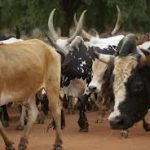 Authorities eject cattle keepers from Juba